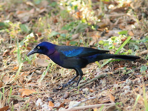Common Grackle 04-20181225