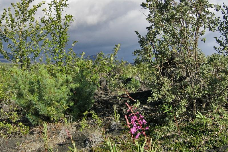 Растительность перед Толбачиком