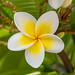 Yellow and White Frangipani Flowers