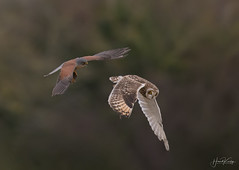 Kestrel comes away with the Short Eared Owls catch