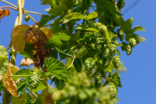 Hops at Andechs