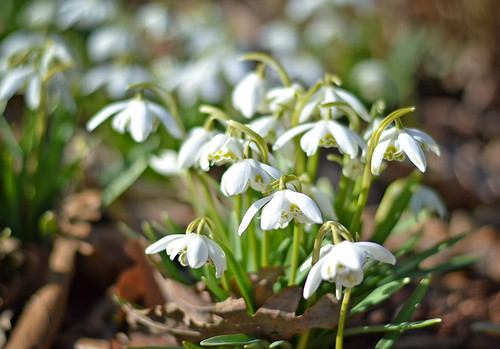A little angels heralding spring... 💓