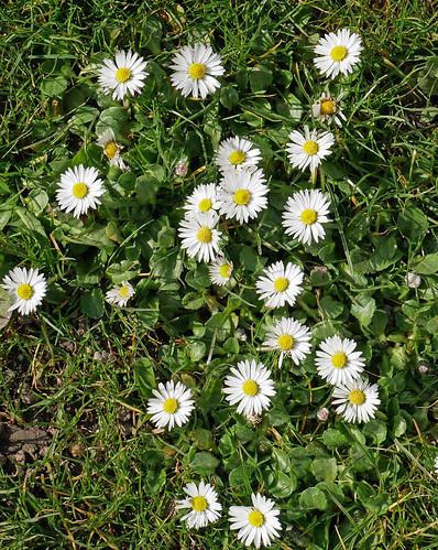ground daisies