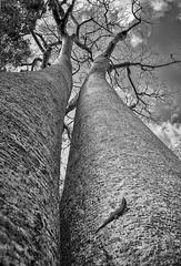 Baobab Twins