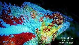 Panther chameleon (Furcifer pardalis) - FB_IMG_1546413289565-01