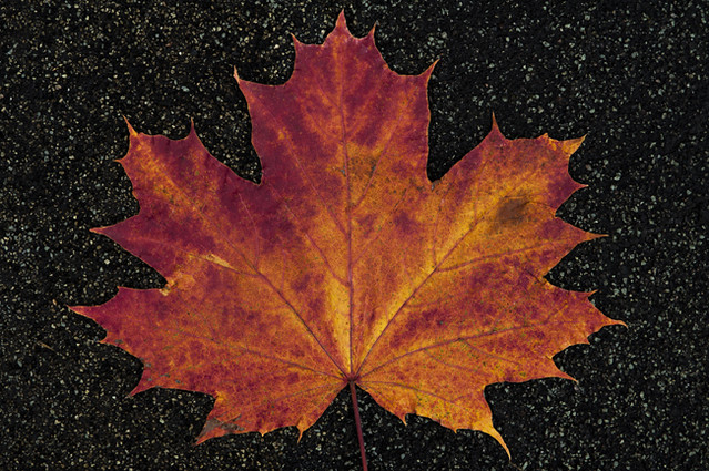Maple leaf close-up in late autumn
