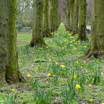 Last of the daffs at Haslam Park