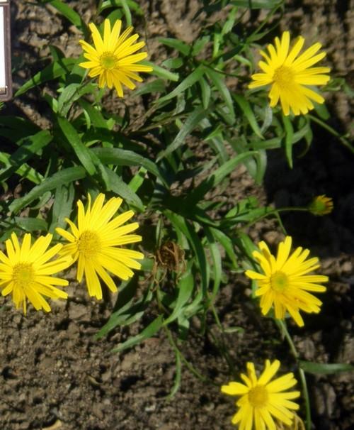 Buphthalmum salicifolium 32790854188_aebc2039e3_o