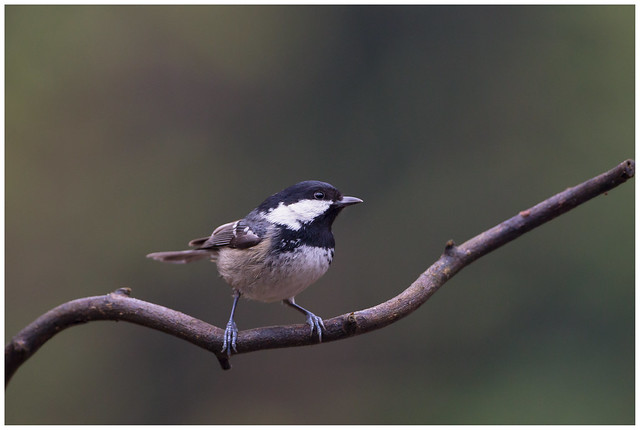 Coal Tit - Zwarte, Canon EOS 5D MARK III, Canon EF 500mm f/4L IS
