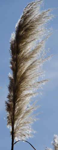Tall, tall pampas grass, Northycote Farm