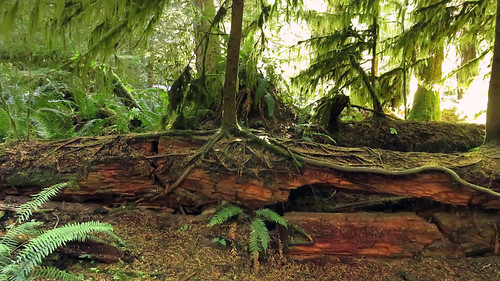 Nurse log in the first-growth forest of Cathedral Grove on Vancouver Island, Canada
