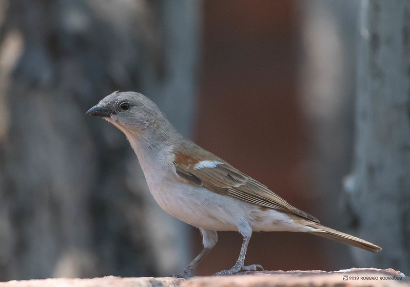 Passer diffusus - Southern Grey head Sparrow