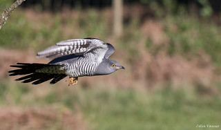 cuckoo inflght | by cogs2011
