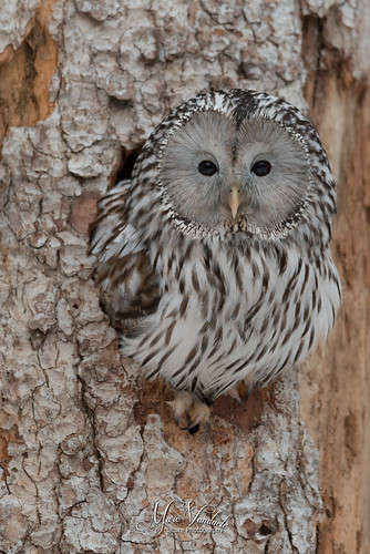 ural owl | by fire111