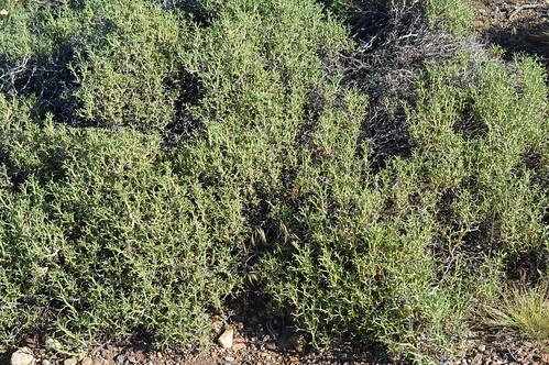 DSC_0038 Junellia connatibracteata ジュネリア コンナチブラクテアタ