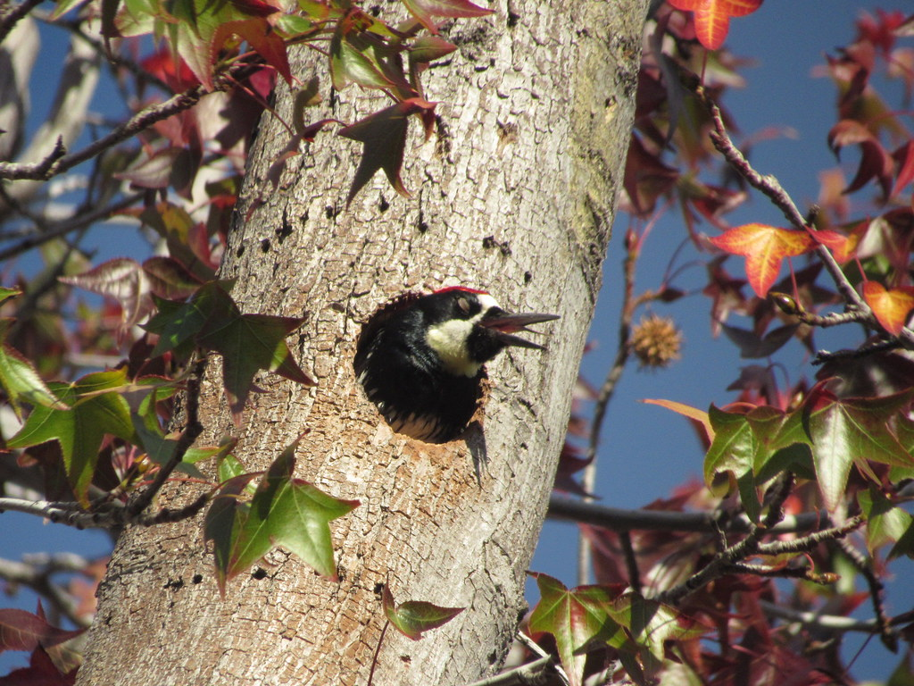 Angry Acorn Woodpecker 12/25/18