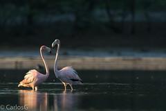 Flamenco, American Flamingo (Phoenicopterus ruber )