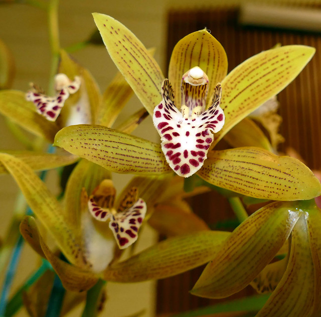 photographed at the 2-19 sfos meeting, Cymbidium (Lovely  Nympn x Sweet Tracy) hybrid orchid exhibited by bill weaver  2-19