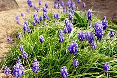 France, les Muscaris en pleine floraison - Photo of Fleury