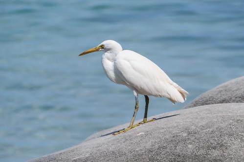 Eastern Reef Egret (Egretta sacra) White morph