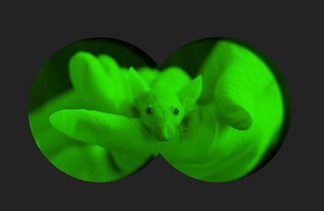 raton copia