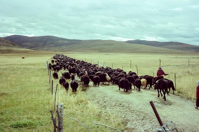 Tibetan Nomad Moving