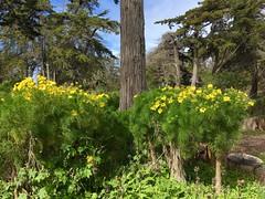 Giant Coreopsis - Coreopsis gigantea