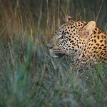 Leopard – South Africa