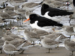 Oystercatchers and Knot