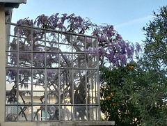 Glycine - Photo of Toulon