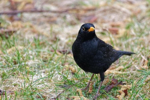 Amsel - Eurasian Blackbird - Turdus merula - 2
