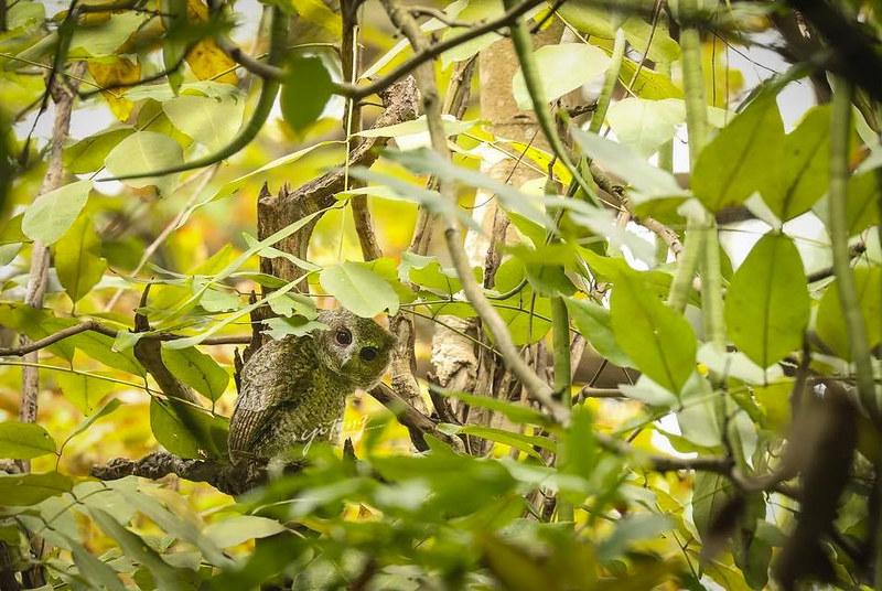 住在植物園裡的領角鴞寶寶