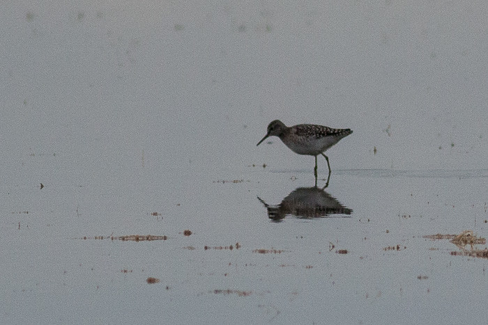 Wood Sandpiper maybe