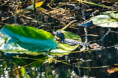 IMG_3629_baby alligator on a lilly pad