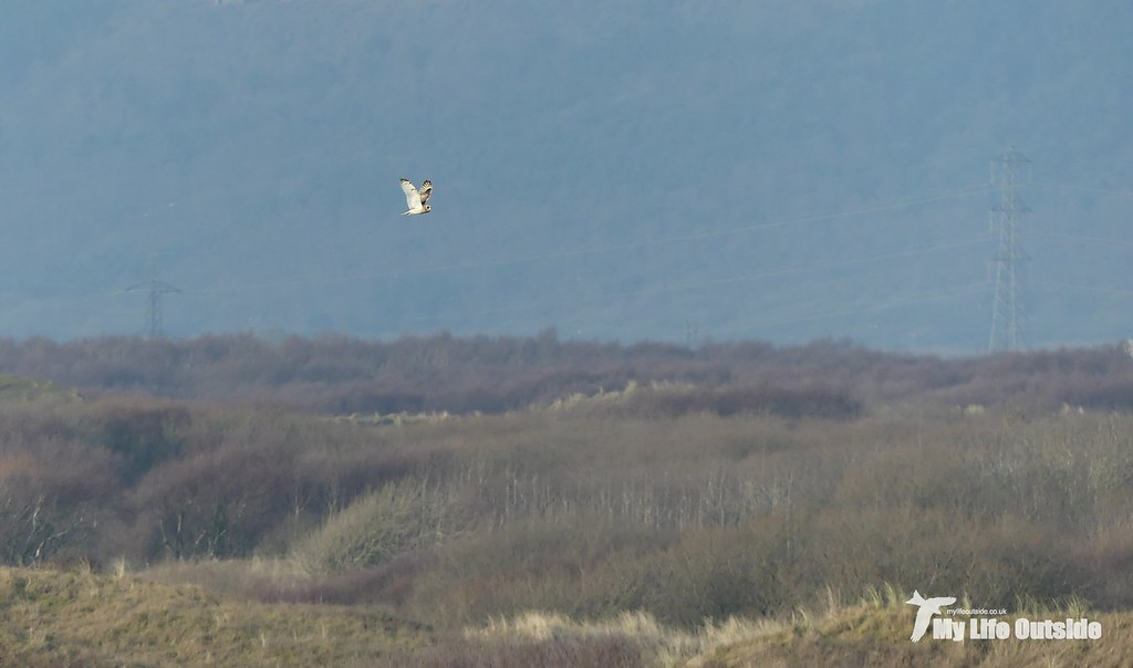 P1180973 - Short Eared Owl. Kenfig