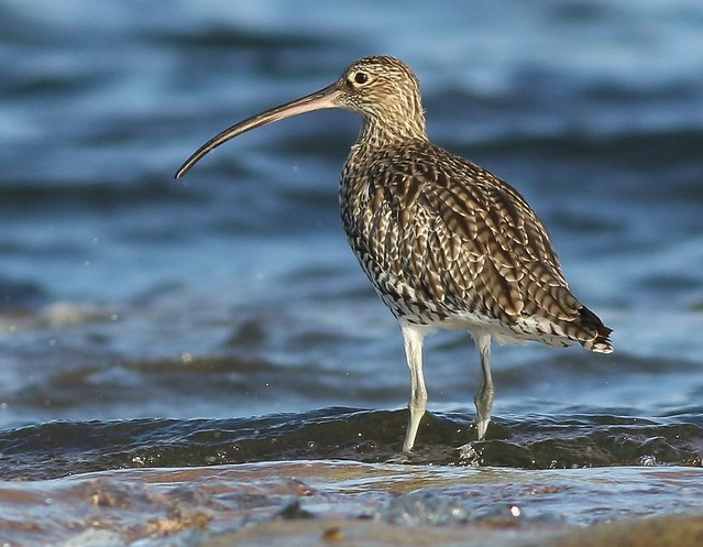 Curlew, Canon EOS 7D MARK II, EF400mm f/5.6L USM