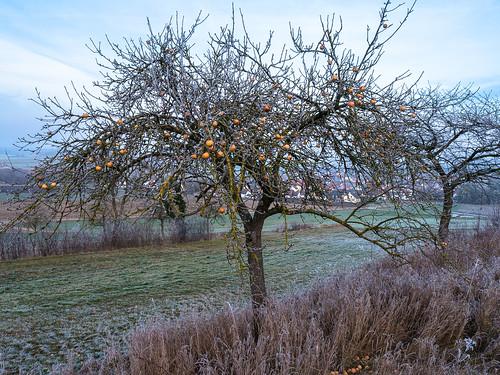 Äpfel mit Raureif