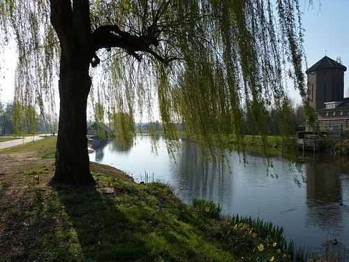 Weeping willow on the banks of the Berkel in Lochem