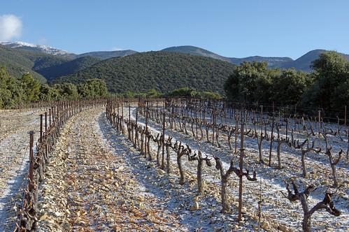 Rousset (Drôme) : les vignes saupoudrées