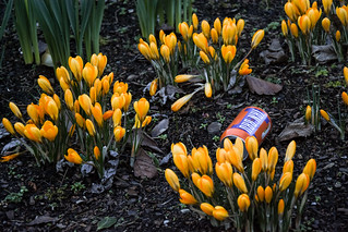 a bru among the crocuses (46/365)