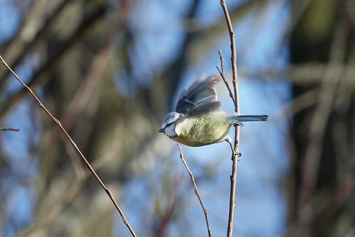 Blaumeise - Blue tit - Cyanistes caeruleus - 5