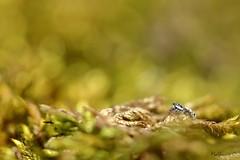 Prête à bondir - Salticus scenicus - Photo of Verneuil