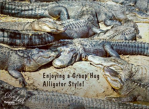 Image of Alligators sunbathing at the St. Augustine Alligator Farm in Florida