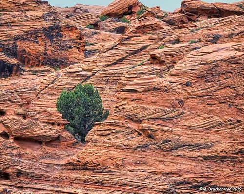 Lone Tree at Snow Canyon State Park in Utah
