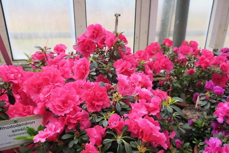 "Rhododendron simsii ""Ambrosianum"""