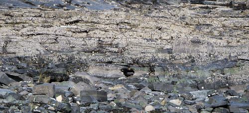 lots of limpets
