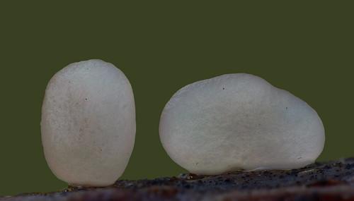 Typhula phacorrhiza - sclerotium