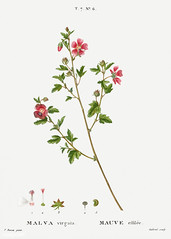 Cape African-queen (Malva virgata) illustration from Traité des
