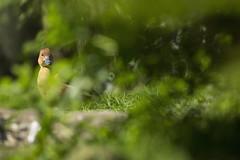 GaiaZOO lentefoto eend