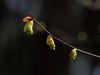 Photo:Corylopsis spicata (Spike winter hazel,トサミズキ, 土佐水木) By Greg Peterson in Japan